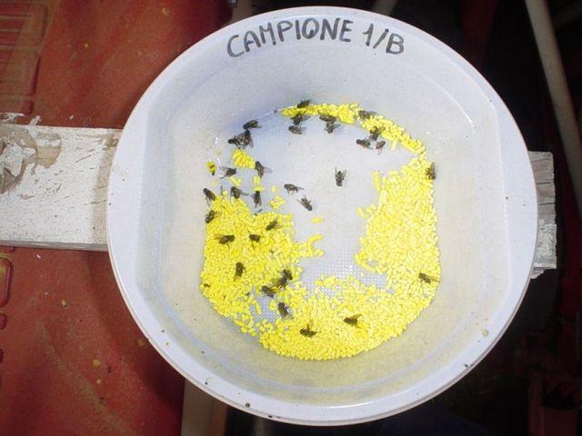 Valutazione granuli su mosca domestica