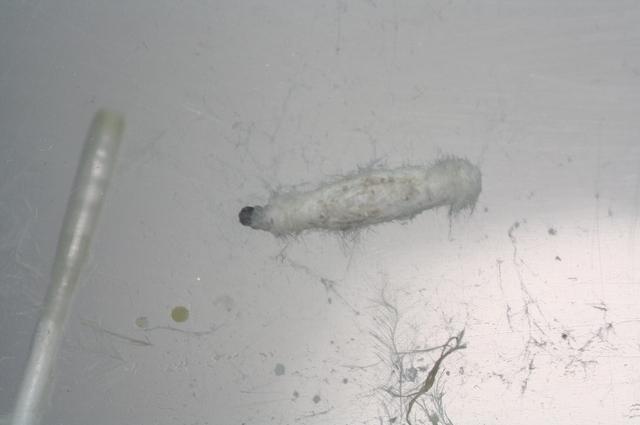 tineola bisseliella
