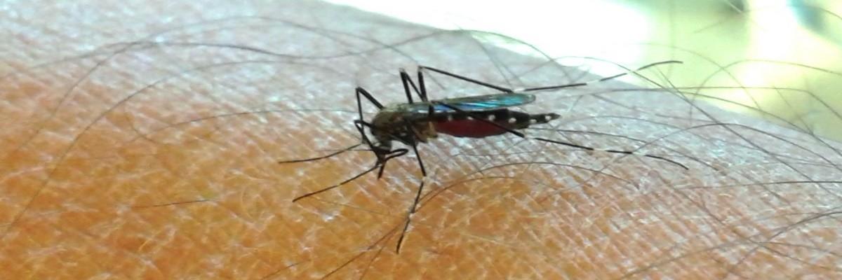 """Le zanzare e la globalizzazione: dopo la coreana è arrivata anche la """"zanzara giapponese"""""""